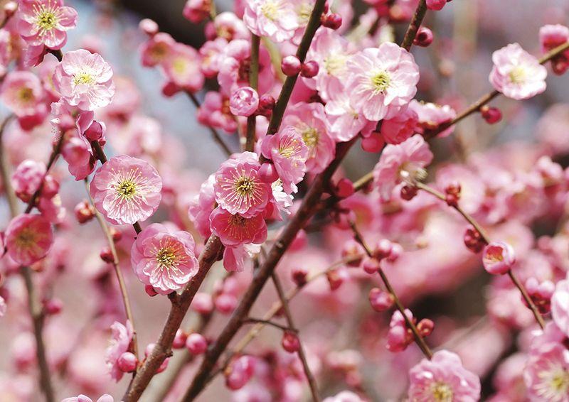 hoa mo nhat ban