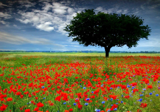 vuon hoa Poppy 4